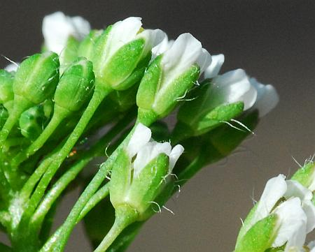 Capsella_bursa-pastoris_calyces.jpg