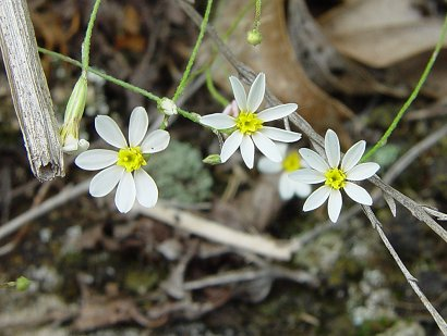 Chaetopappa_asteroides_flowers2.jpg