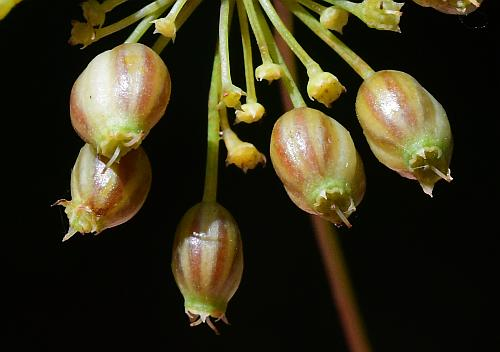 Cicuta_maculata_fruits2.jpg