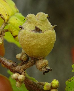 Hamamelis_virginiana_fruit.jpg