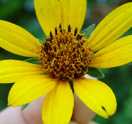 Heliopsis_helianthoides_flowers_close.jpg