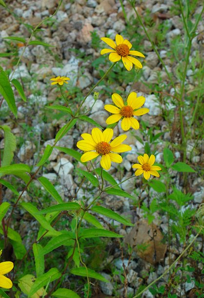 Heliopsis_helianthoides_plant.jpg
