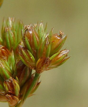 Juncus_marginatus_fruits.jpg