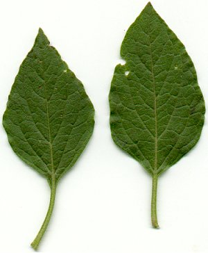 Physalis_pumila_leaves.jpg