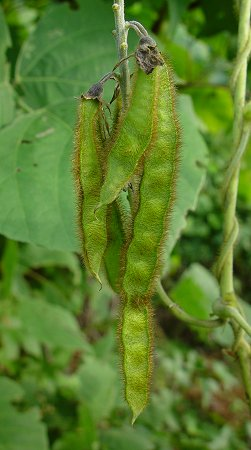Pueraria_montana_fruits.jpg