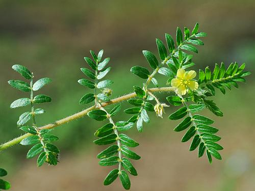 Tribulus_terrestris_leaves.jpg